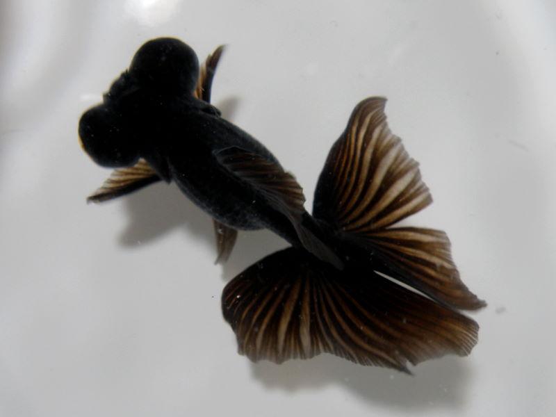 蝶尾の生体を入荷いたしました|金魚・らんちゅう専門店 ...